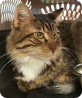 Maine Coon Kitten for adoption in Lyons, Illinois - Ares