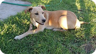 Labrador Retriever/Jack Russell Terrier Mix Puppy for adoption in Orange County, California - Lucy
