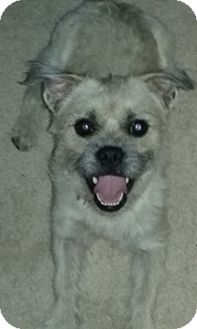 Poodle (Miniature)/Pug Mix Dog for adoption in Clear Brook, Virginia - Teddy