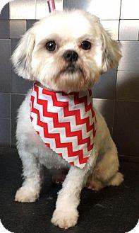 Shih Tzu/Maltese Mix Dog for adoption in McKinney, Texas - Kris Kristofferson