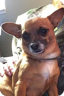 Chihuahua/Dachshund Mix Dog for adoption in Healdsburg, California - Peanut