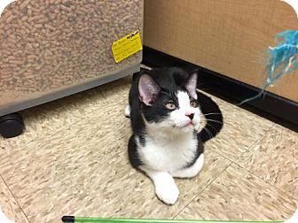 Domestic Mediumhair Kitten for adoption in Atlanta, Georgia - Casey
