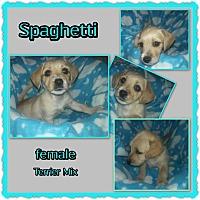 Adopt A Pet :: Spaghetti - Richmond, CA