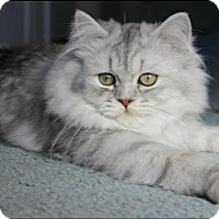 Persian Cat for adoption in Freeport, New York - Revy