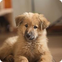 Adopt A Pet :: Zephee - Grand Canyon Village, AZ