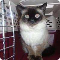 Himalayan Cat for adoption in THORNHILL, Ontario - Sheeba