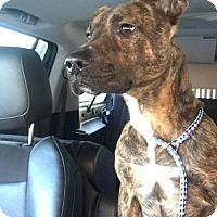 Adopt A Pet :: Addison Russell - Crete, IL