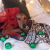 Catahoula Leopard Dog Mix Dog for adoption in Mississauga, Ontario - Dolly - Adoption Pending