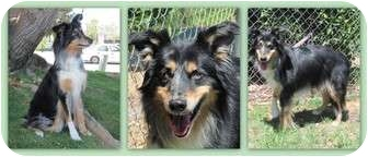 Border Collie/Australian Shepherd Mix Dog for adoption in Trabuco Canyon, California - Maya