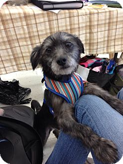 Terrier (Unknown Type, Small) Mix Dog for adoption in Brea, California - Wayne