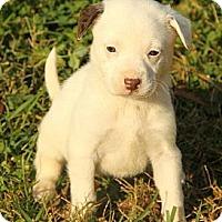 Adopt A Pet :: Amy - Brattleboro, VT