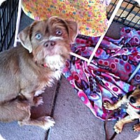 Adopt A Pet :: Piper - North Hollywood, CA
