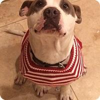 Adopt A Pet :: Bandit - Surprise, AZ
