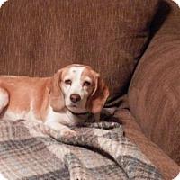 Adopt A Pet :: Ginger Snap - Phoenix, AZ