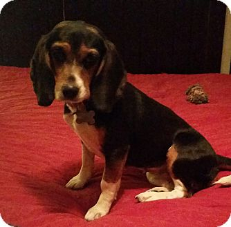 Beagle Dog for adoption in Battleboro, Vermont - Rossi-19 lbs Full Grown