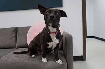 Corgi/Cattle Dog Mix Dog for adoption in Los Angeles, California - Carly
