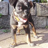 Adopt A Pet :: Fortuna - West Chicago, IL