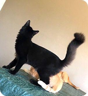 Domestic Longhair Cat for adoption in Hammond, Louisiana - Midnight