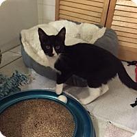 Adopt A Pet :: Oki - Grand Ledge, MI