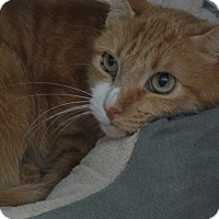 Domestic Shorthair Cat for adoption in Tucson, Arizona - WALTER