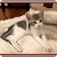 Domestic Shorthair Kitten for adoption in Mt. Prospect, Illinois - Roosevelt