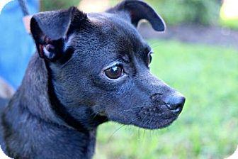 Italian Greyhound/Miniature Pinscher Mix Puppy for adoption in Rapid City, South Dakota - Camila
