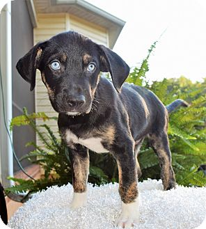 Pit Bull Terrier/Husky Mix Puppy for adoption in Mooresville, North Carolina - Orlando (City Slickers)