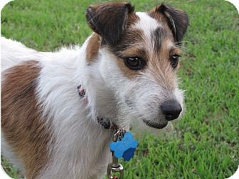 Jack Russell Terrier Dog for adoption in Austin, Texas - Buddy in San Antonio