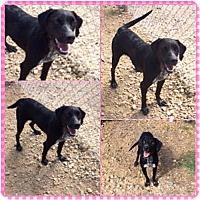Labrador Retriever Mix Dog for adoption in Garber, Oklahoma - Elsa