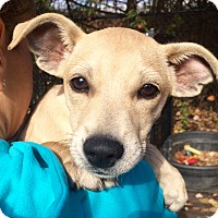 Adopt A Pet :: Lavern in CT - Manchester, CT