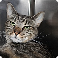 Adopt A Pet :: Belladonnna - Sarasota, FL