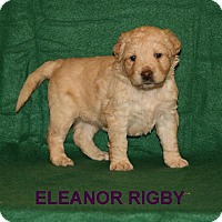 Adopt A Pet :: Eleanor Rigby - Fairfax Station, VA