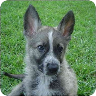 German Shepherd Dog Puppy for adoption in Pike Road, Alabama - Blaze