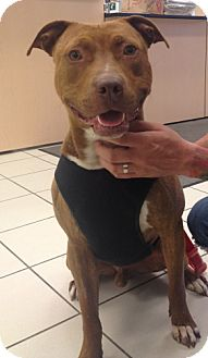 American Staffordshire Terrier/Pit Bull Terrier Mix Dog for adoption in Chicago, Illinois - Finnegan