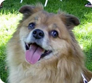 Pomeranian Mix Dog for adoption in Toronto, Ontario - Tate
