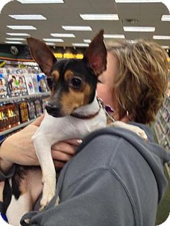 Rat Terrier/Fox Terrier (Smooth) Mix Dog for adoption in Youngstown, Ohio - Bennie ~ Adoption Pending