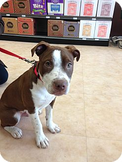 American Pit Bull Terrier/American Staffordshire Terrier Mix Puppy for adoption in Columbus, Ohio - Red Rover
