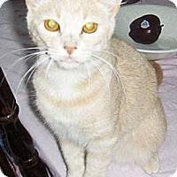 Adopt A Pet :: Nibbles - Phoenix, AZ