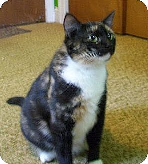 Domestic Shorthair Cat for adoption in Jacksonville, North Carolina - Noelle