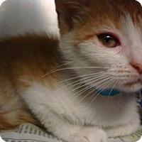 Domestic Shorthair Cat for adoption in Miami, Florida - Sara