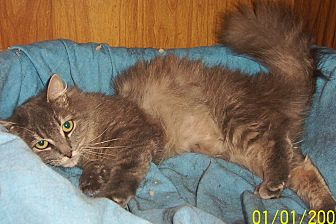 Domestic Mediumhair Cat for adoption in Nepean, Ontario - BUTTONS
