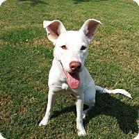 Adopt A Pet :: Alba - Austin, TX