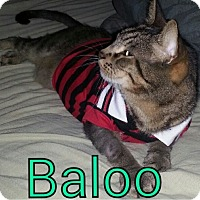 Adopt A Pet :: Baloo - Oakland Park, FL