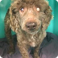 Adopt A Pet :: Grommet- BLIND SENIOR - Oak Ridge, NJ