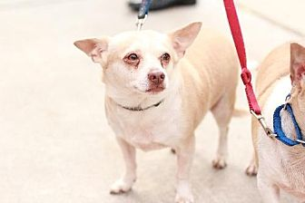 Chihuahua Mix Dog for adoption in Morganville, New Jersey - Bruno