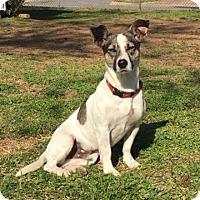 Adopt A Pet :: Diego - Little Rock, AR
