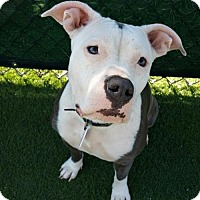 Pit Bull Terrier/American Bulldog Mix Dog for adoption in Torrance, California - Gidget