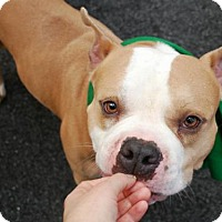 American Bulldog/American Pit Bull Terrier Mix Dog for adoption in Ridgefield, Connecticut - Gotti