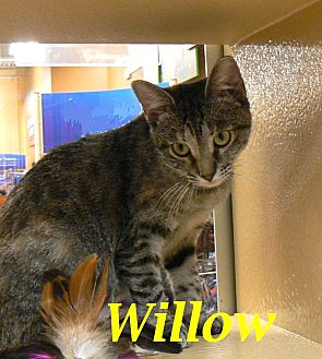 Domestic Shorthair Cat for adoption in League City, Texas - Willow