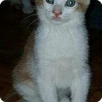 Adopt A Pet :: Angelo - Sunderland, ON